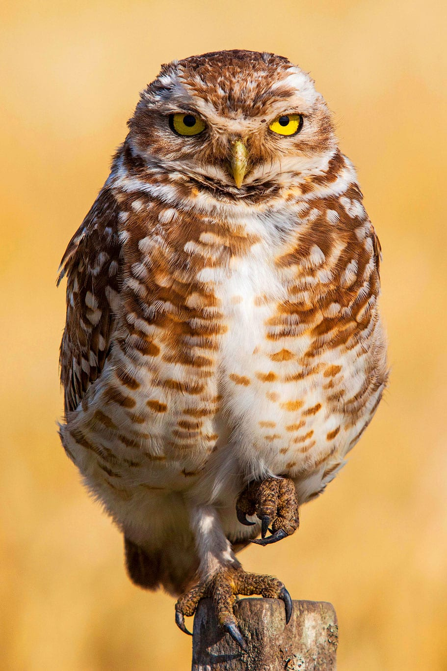 Burrowing Owl in the Pampas, Argentina