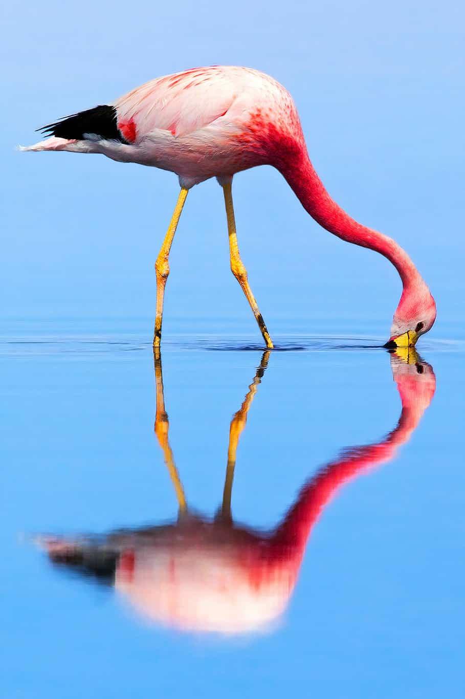 Flamingo in Laguna Chaxa, Chile