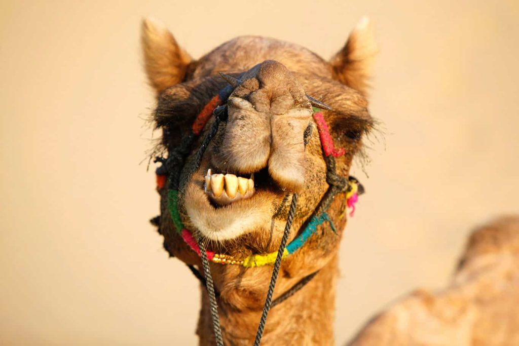 Camel face in Jaisalmer, India