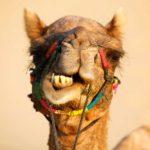 Camel face in Jaisalmer, India