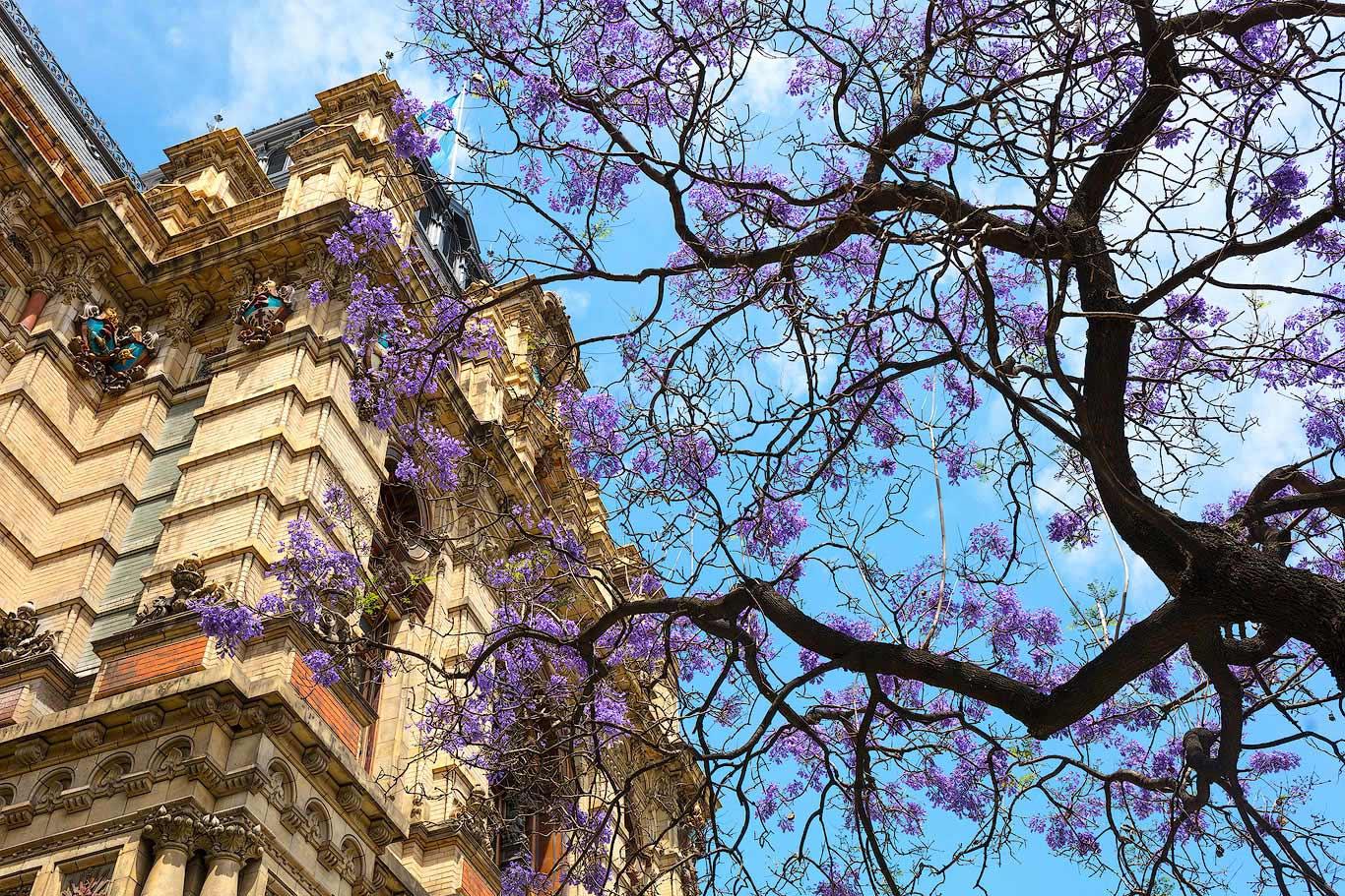Jaracanda tree and Palacio de Aguas Corrientes