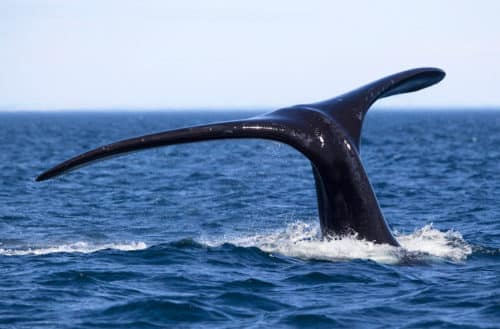 Southern Right Whale tail, Argentina