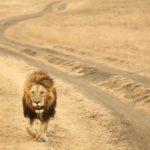 Adult male lion inside the Ngorongoro Crater, Tanzania