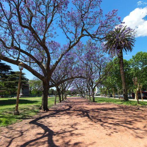 Jaracanda trees on springtime, Buenos Aires
