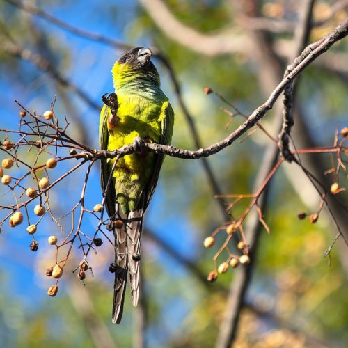 Monk parakeet in the Ecological Reserve, Buenos Aires