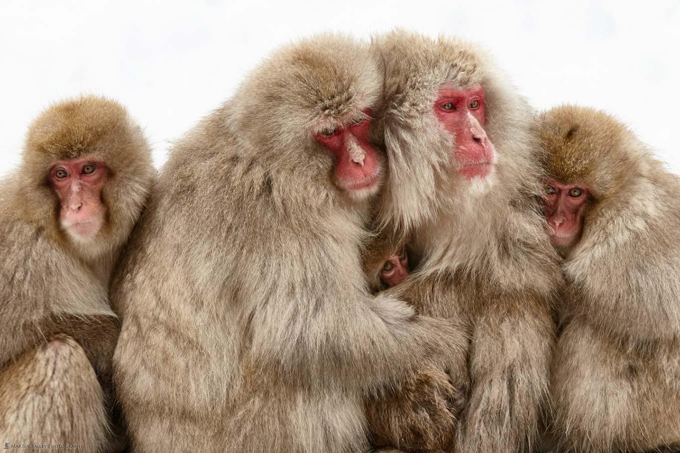 snow monkeys in japan by Martin Bailey