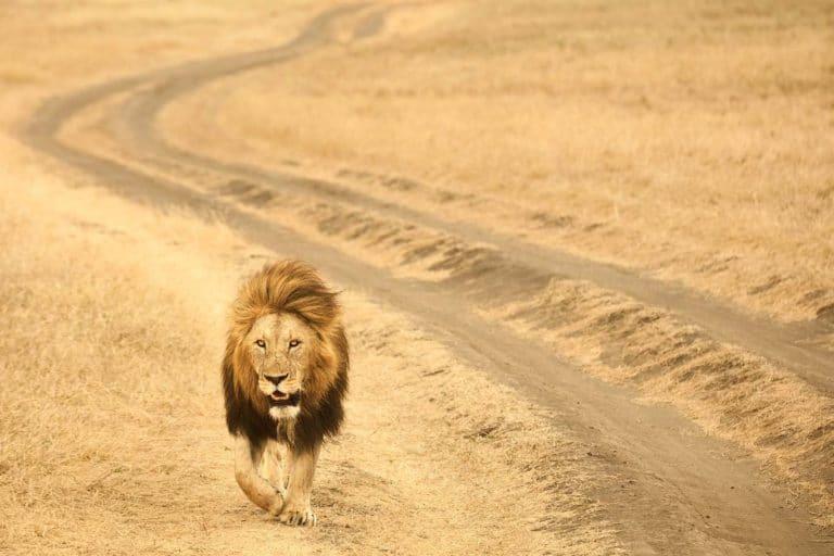 leone adulto nel cratere dell'Ngorongoro